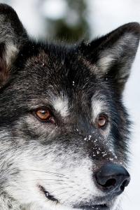 Vorschau Wolf Handy Logo